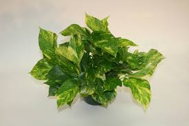 garden types of ivy golden pothos indoor palm trees