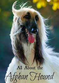 afghan hound top speed afghan hound large hypoallergenic dog breed hypoallergenic dog
