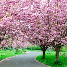 cherry blossom tree cherry blossom trees are blooming now brighter blooms nursery blog