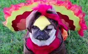 doug the pug outdoes himself in thanksgiving themed