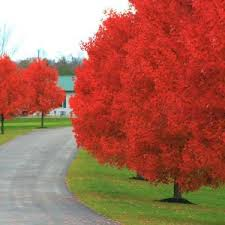 fast growing trees for sale nature nursery