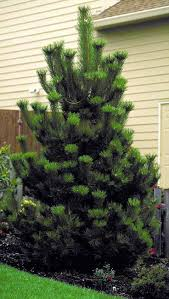 38 best conifers images on pinterest plant catalogs shrubs and