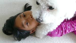 bichon frise 17 years old white bichon frise stock footage video 28794730 shutterstock