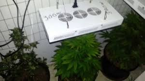budding 1200w led grow lights great medical indoors