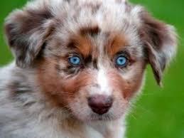 pictures of australian shepherds australian shepherd dogs