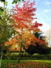 liquidambar trees for sale at trees direct