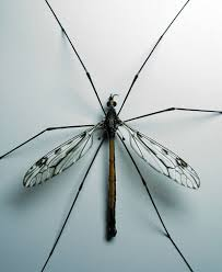 Tiny Black Flies In The House by Crane Fly Simple English Wikipedia The Free Encyclopedia