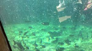 hippo swimming underwater at st louis zoo youtube