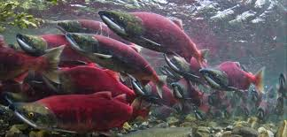 Alaska wild swimming images Why protect salmon wild salmon center jpg