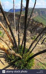 native aussie plants ravaged by bushfire native australian plants regenerate and