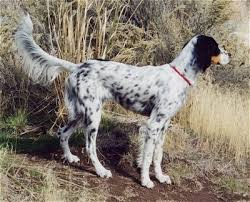types of setter dog breeds llewellin setter dog breed information and pictures