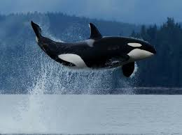 best black friday deals henkel 421 best whales images on pinterest animals orcas and killer whales