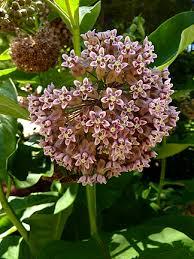 The Most Fragrant Plants - asclepias syriaca u201cvirginia silk u201d very possibly the most
