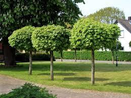 albero giardino alberi da giardino il verde quali alberi da giardino scegliere