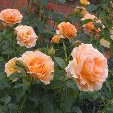 Fragrant Climbing Plants - polka rose bush 35 petals apricot fragrant climbing rose plant
