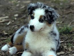 australian shepherd eskimo spitz mix 8 things you didn u0027t know about the australian shepherd american