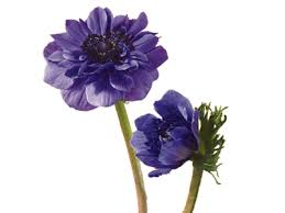 anemones flowers anemone meaning symbolism teleflora