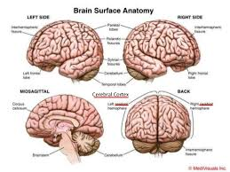 Gross Brain Anatomy Your Most Holy Place