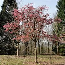 prunus kursar buy cherry blossom flowering cherry trees