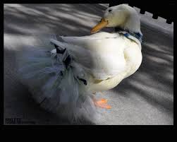 raising indoor ducks backyard chickens