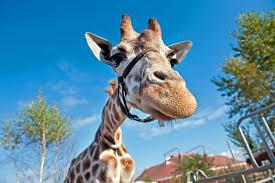what does giraffe meat taste like