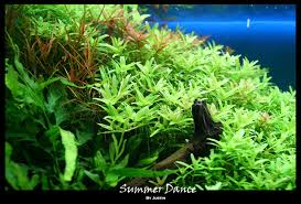 Aquascape Malaysia Summer Dance 45cm Tank Aquascaping Aquatic Plant Central