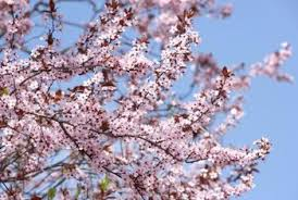 can you root a tree from a japanese cherry tree branch home