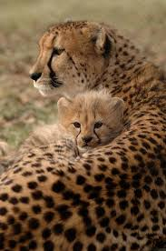 affectionate cheetahs wallpapers 58 best amazing cheetahs images on pinterest big cats animal