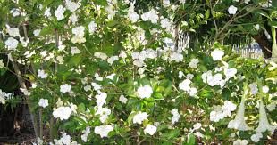 native florida plants low maintenance inventing your garden fragrant plants for southwest florida