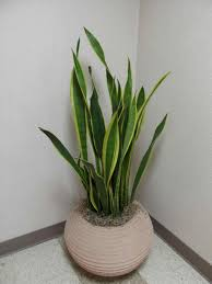 Great Indoor Trees Hgtv by Brilliant 50 Tropical Indoor House Plants Design Decoration Of