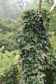 Hops On Trellis Structural Elements Arbors Trellises And Pergolas Chiot U0027s Run