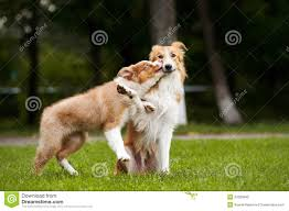 Dog Kiss Meme - cute puppy kisses red dog stock photo image of family 27093840