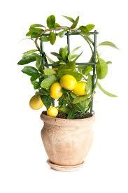 decorative lemon tree stock image image of white agriculture