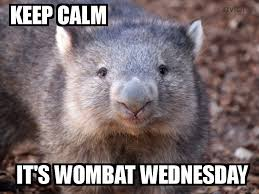 Wombat Memes - wombat wednesday by thebloggingbunny on deviantart