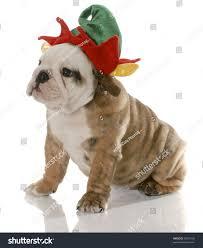 english bulldog puppy dressed like christmas stock photo 59505700