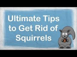 How To Get Rid Of Raccoons In Backyard How To Get Rid Of Squirrels Ultimate Repellent For Getting Rid