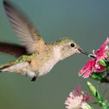 broad tailed hummingbird national geographic
