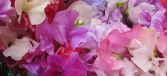 Sweet Pea Images Flower - roger parsons sweet peas home