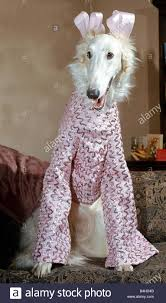 6 month old elegant borzoi gold dust dressed for christmas party
