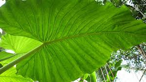 alocasia macrorrhizos l g don plants of the world online