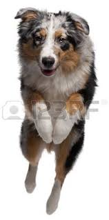 australian shepherd 2 mesi australian shepherd puppy foto royalty free immagini immagini e