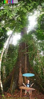 tallest tropical tree in the world mysabah