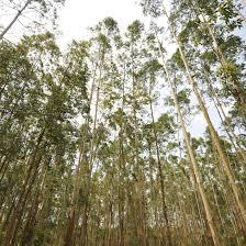 potted plant tree seeds authentic eucalyptus tree seeds bonsai