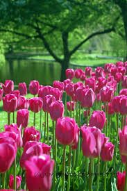Best Public Gardens by 164 Best Champs De Tulipes Images On Pinterest Landscapes