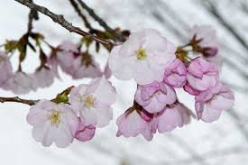 Cherry Blossom Facts by Your Cherry Blossom Questions Answered The Washington Post