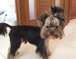 male yorkie haircuts yorkie haircuts for males and females 60 pictures yorkie life