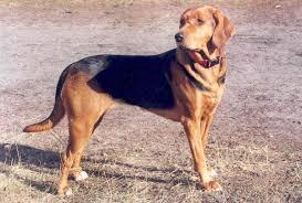 afghan hound vs wolfhound polish hound wikipedia