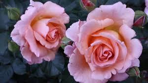 imagenes flores relajantes musica relajante relajate y disfruta de la reina de las flores