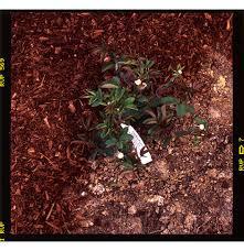 Garden Mulch Types - mulching roses rose notes
