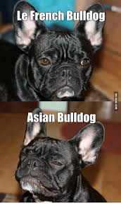 French Bulldog Meme - le french bulldog asian bulldog bulldog meme on me me